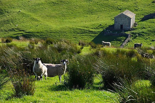Yorkshire sheep by Paul Indigo