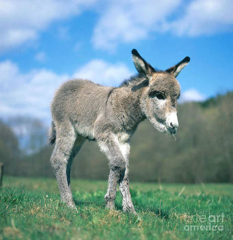 Hans Reinhard - Young Donkey
