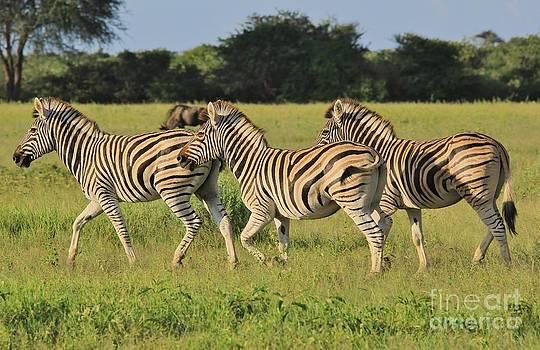 Hermanus A Alberts - Zebra Run