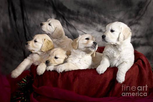 Angel Ciesniarska - festive puppies