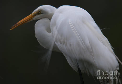 Dale Powell - Great White Heron Wispy Feathers