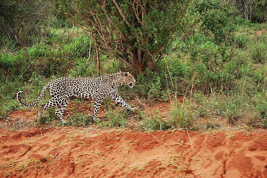 Evgeny Lutsko - hunting leopard