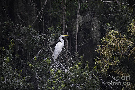 Dale Powell - White Heron Perched in Tree