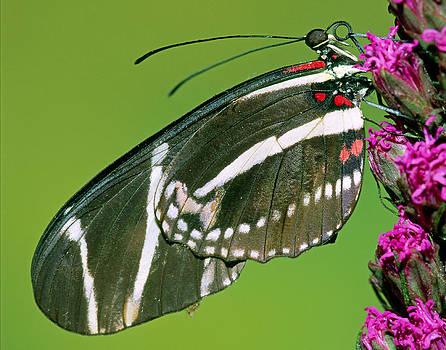 Zebra Butterfly Heliconius Charitonius by Millard H. Sharp