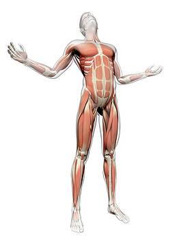 Human Muscular System by Sebastian Kaulitzki