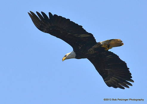 Bald Eagle by Bob Petzinger