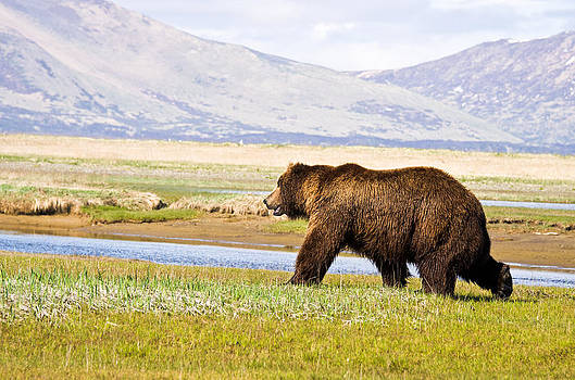 Bear in Hallo Bay in Katmai National Park Alaska by Natasha Bishop