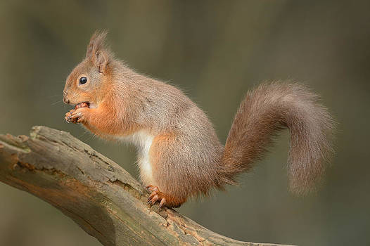 Red Squirrel by Andy Astbury