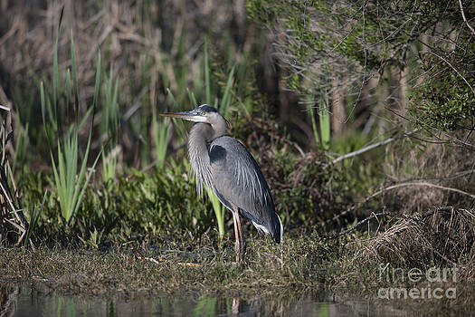 Dale Powell - Blue Heron