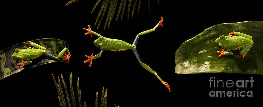 Scott Linstead - Red-eyed Tree Frog