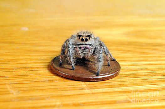 Scott Linstead - Regal Jumping Spider