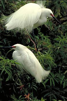 Snowy Egrets by Millard H. Sharp