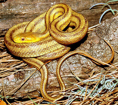 Yellow Rat Snake by Millard H. Sharp