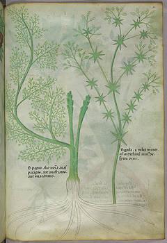 Botanical Illustration by British Library
