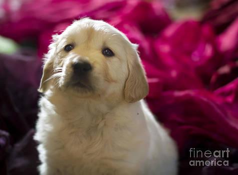 Angel Ciesniarska - Golden retriever puppy