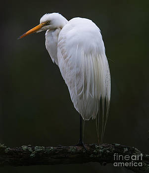 Dale Powell - North American White Heron