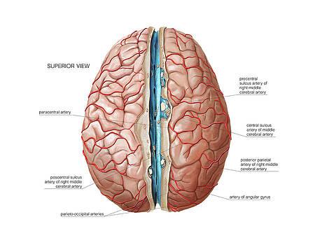Arterial System Of The Brain by Asklepios Medical Atlas