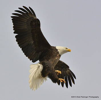 Bald Eagle by Bob Petzinger