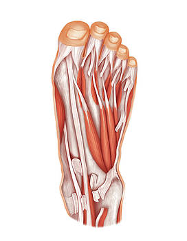 Muscles Of The Foot by Asklepios Medical Atlas