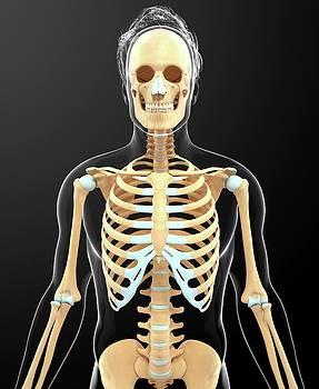 Human Skeletal System by Pixologicstudio
