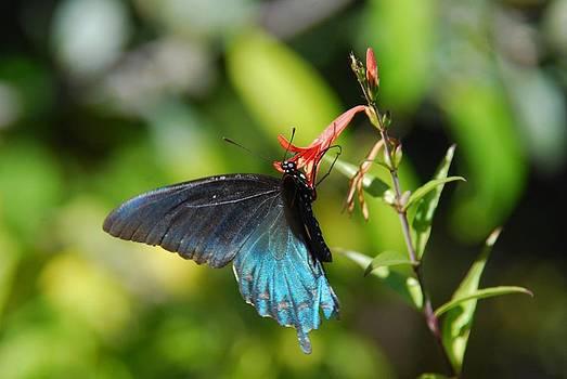 Tam Ryan - Butterfly