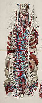 Anatomical Drawing by British Library