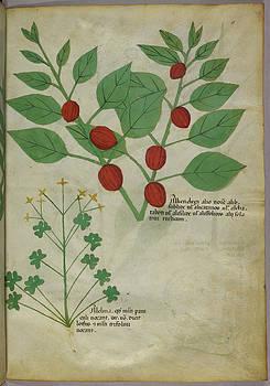 Botanical Illustration Of Plants by British Library