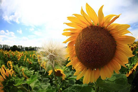 Sunflowers by Falko Follert