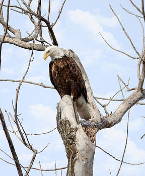 Bald Eagle by Lori Tordsen