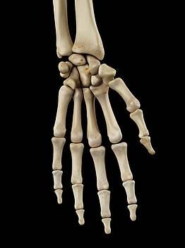 Human Hand Bones by Sciepro