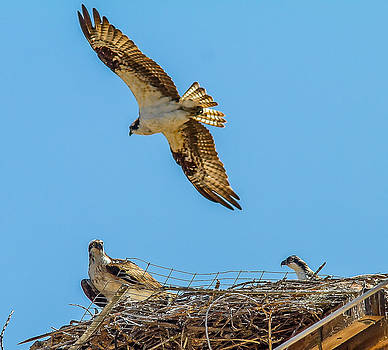 3 Ospreys at the nest by Brian Williamson