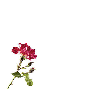 Jan Hagan - 4th of July Rose