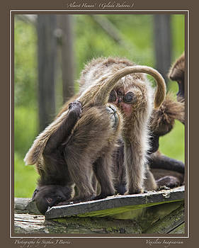 Stephen Barrie - Almost Human    Gelada Baboons