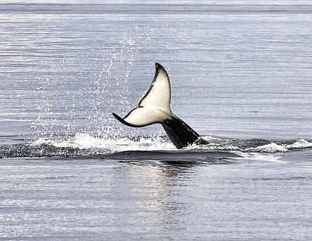 An Orca's Tail by Darryl Luscombe
