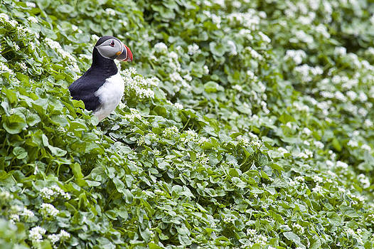 Atlantic Puffin Iceland by Sigurdur Aegisson