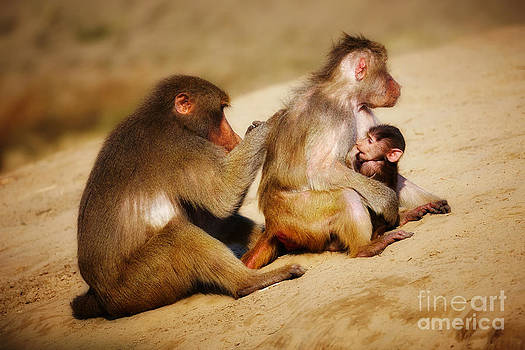 Nick  Biemans - Baboon family in the desert