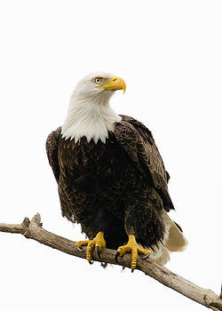 Bald Eagle by Doug Herr