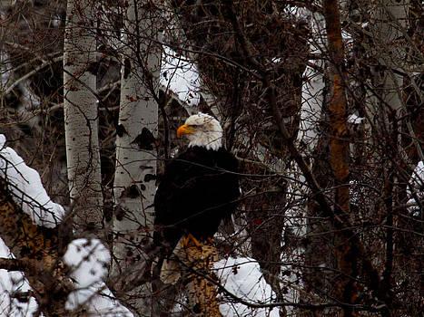 Omaste Witkowski - Bald Eagle