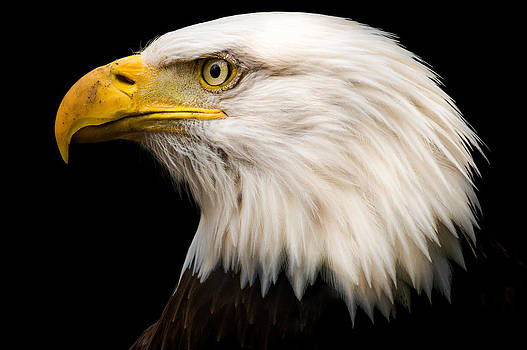 Bald Eagle by Tracy Munson
