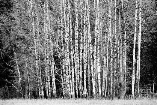 Birches 1 by Steve Patton