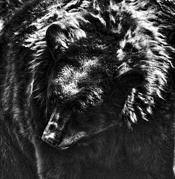 Joe Bledsoe - Black Bear