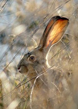 Black-tailed Hare by Doug Herr