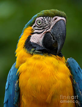 Blue and Yellow Macaw by Rosemary Calvert