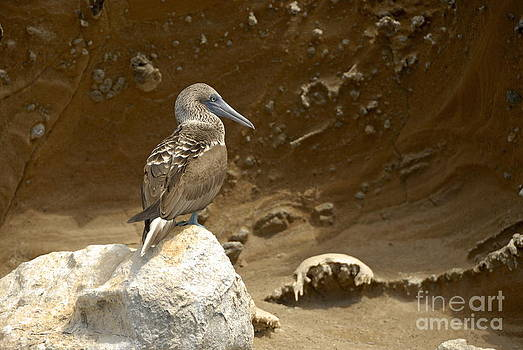 Blue-footed Booby by Sami Sarkis
