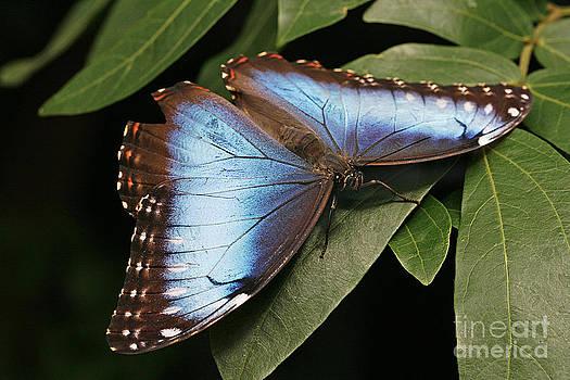 Blue Morpho Butterfly by Cindi Ressler