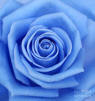 Blue rose by Rosemary Calvert