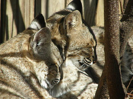 2 Bobcats sleeping by  Zoe Hadley
