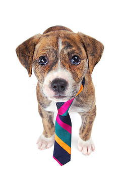 Brindle colored pup with a necktie. by Perry Harmon