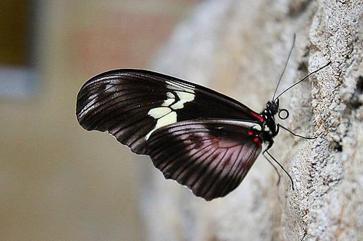 Butter Fly by Kelli Howard