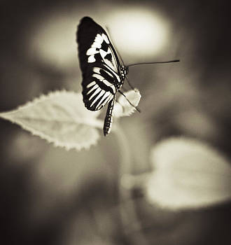 Butterfly Brown Tone by Bradley R Youngberg